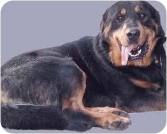 Dog 1 59 09 grass valley ca rottweiler great pyrenees mix