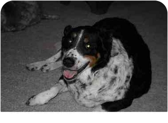 Australian Shepherd/Border Collie Mix Dog for adoption in Scottsdale, Arizona - Gracie