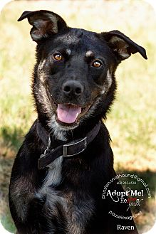 Shepherd (Unknown Type)/Labrador Retriever Mix Dog for adoption in Phoenix, Arizona - Raven