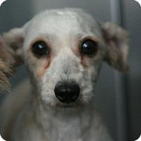 Adopt A Pet :: Petal-Terripoo! - Canoga Park, CA