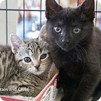 Adopt A Pet :: Captain - Merrifield, VA