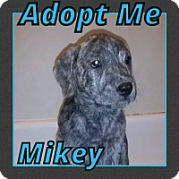 Adopt A Pet :: Mikey - Cheney, KS
