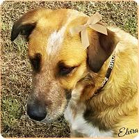 Adopt A Pet :: Elvira - Kyle, TX