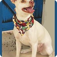 Adopt A Pet :: Eve In Hillsboro, Texas - Austin, TX