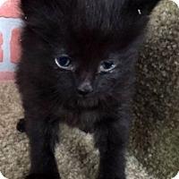Adopt A Pet :: Licorice - Porter, TX