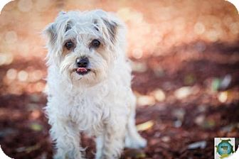 Maltese Mix Dog for adoption in Windsor, California - Phoebe