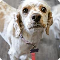 Adopt A Pet :: Lola - Sherman Oaks, CA