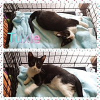 Adopt A Pet :: Tuxie - Kennedale, TX