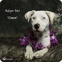 Catahoula Leopard Dog Puppy for adoption in Acton, California - Claire
