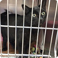Domestic Shorthair Cat for adoption in Janesville, Wisconsin - Neville