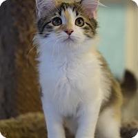 Calico Cat for adoption in DFW Metroplex, Texas - Miranda