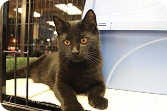 Domestic Mediumhair Kitten for adoption in Yardley, Pennsylvania - Midnight