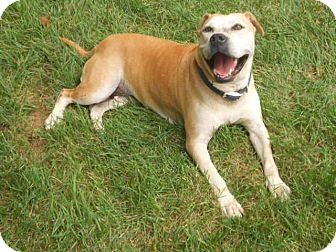 American Staffordshire Terrier/Labrador Retriever Mix Dog for adoption in Salisbury, North Carolina - Princess Elsa