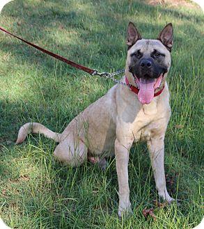 Akita/Mastiff Mix Dog for adoption in West Springfield, Massachusetts - Zuma