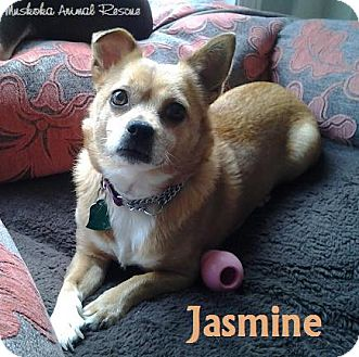 Chihuahua/Corgi Mix Dog for adoption in Huntsville, Ontario - Jasmine - Sweet natured!