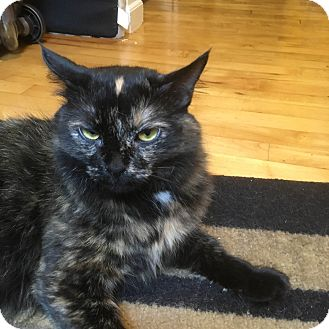 Domestic Longhair Cat for adoption in Sparta, New Jersey - Zelda - Courtesy Listing