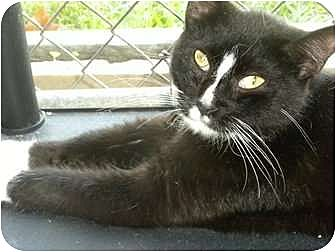 Domestic Shorthair Cat for adoption in Baton Rouge, Louisiana - Shelly