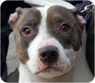 American Pit Bull Terrier Mix Dog for adoption in Brooklyn, New York - China