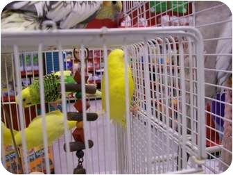 Budgie for adoption in Shawnee Mission, Kansas - Prince