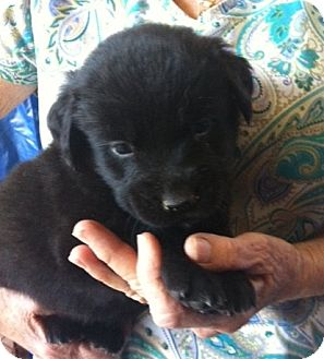 Golden Retriever/Labrador Retriever Mix Puppy for adoption in Nuevo, California - Gable
