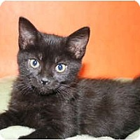 Adopt A Pet :: EBONY - SILVER SPRING, MD