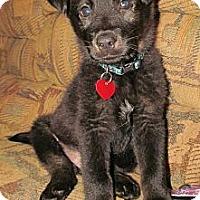 Adopt A Pet :: HERSHEY - Torrance, CA