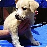 Adopt A Pet :: Blossom - Brattleboro, VT