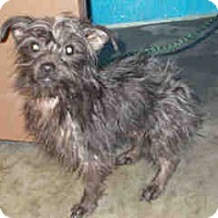 Adopt A Pet :: Scruffy - Antioch, IL