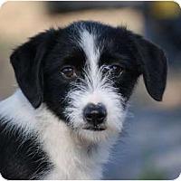 Adopt A Pet :: Ziggy - Providence, RI