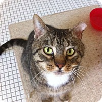Adopt A Pet :: Mr. Socks - Indianapolis, IN