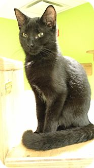 Domestic Shorthair Cat for adoption in Chicago, Illinois - Dave