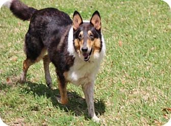 Collie Dog for adoption in Stafford, Texas - Jasper *New*