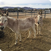Adopt A Pet :: Sundance - Lucerne Valley, CA