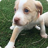 Adopt A Pet :: Katie - Santa Ana, CA