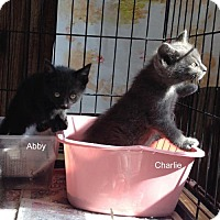 Adopt A Pet :: Charcoal Charlie - Maywood, IL