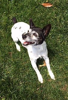 Jack Russell Terrier/Rat Terrier Mix Dog for adoption in Columbia, Tennessee - Pepper/CP