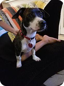 Cardigan Welsh Corgi Mix Puppy for adoption in Santa Fe, Texas - Lera