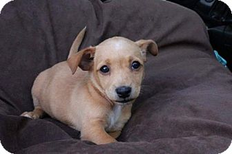 Chihuahua/Poodle (Miniature) Mix Puppy for adoption in Los Banos, California - Scooby