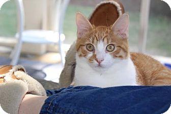 Domestic Shorthair Kitten for adoption in Homewood, Alabama - Benji