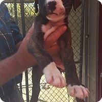 Adopt A Pet :: Boomer - Maysville, KY