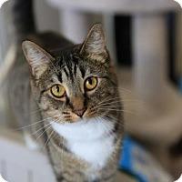 Domestic Shorthair Cat for adoption in Columbus, Ohio - Mimi