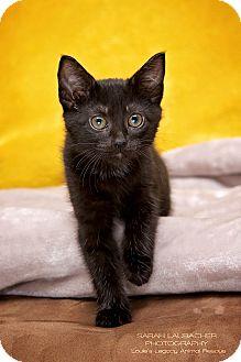 Bombay Kitten for adoption in Staten Island, New York - Hannah