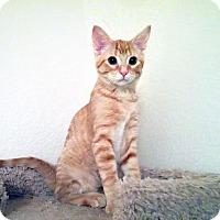 Adopt A Pet :: Cheddar - Arlington/Ft Worth, TX