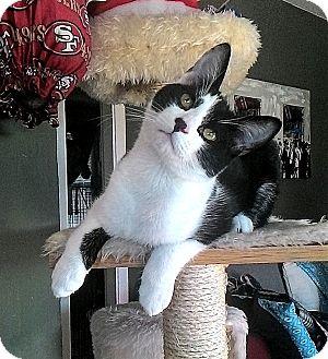 Domestic Shorthair Kitten for adoption in San Jose, California - Rascal Ryan $10 TO ADOPT!