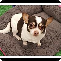 Chihuahua Mix Dog for adoption in Winchester, California - MATILDA