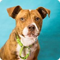 Adopt A Pet :: Terra - Houston, TX