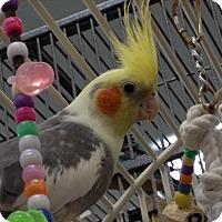 Adopt A Pet :: Peeps - Elizabeth, CO