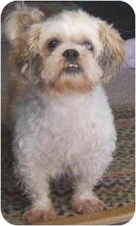 Shih Tzu Dog for adoption in Mesa, Arizona - Louie