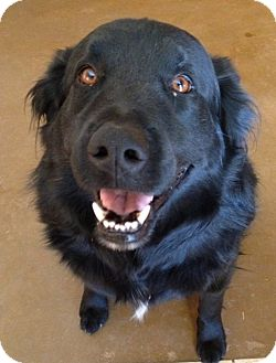 Flat-Coated Retriever Dog for adoption in Phoenix, Arizona - Jesse