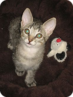 Domestic Shorthair Kitten for adoption in Fountain Hills, Arizona - ISAAC
